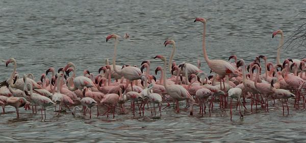 Flamingos at Lake Borogia, Kenya