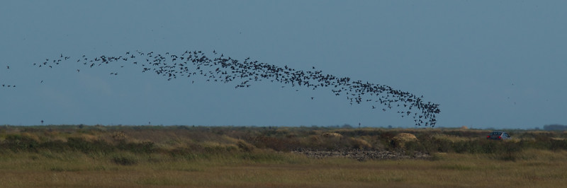 Flock of Canadian Geese - Edwin B. Forsythe Wildlife Refuge.