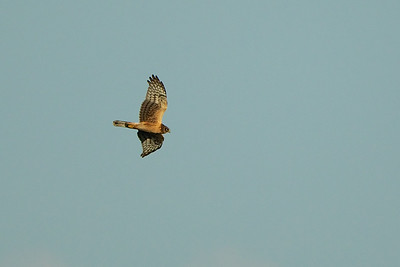Northern Harrier, Edwin B. Forsythe National Wildlife Refuge, NJ