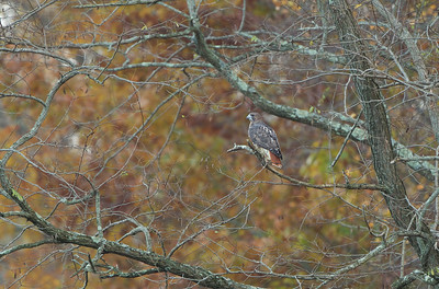 Red tailed Hawk, Colts Neck, NJ