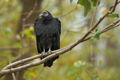 A Black Vulture at Conowingo Dam.