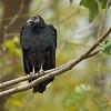 A Black Vulture at Conowingo Dam.