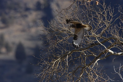 Rough Legged Hawk - Yellowstone Park