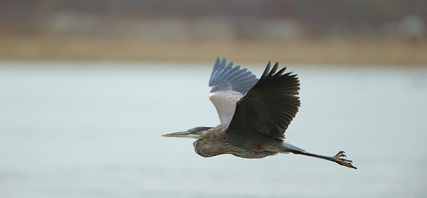 Great Blue Heron, Conowingo Dam, MD