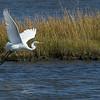 Snowy White Egret - Edwin B. Forsythe Wildlife Refuge.