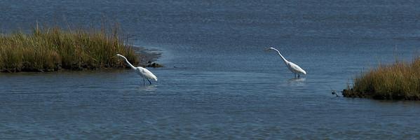 Snowy White Egrets hunting for food - Edwin B. Forsythe Wildlife Refuge.
