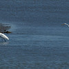 Snowy White Egrets hunting for food - Edwin B. Forsythe Wildlife Refuge.