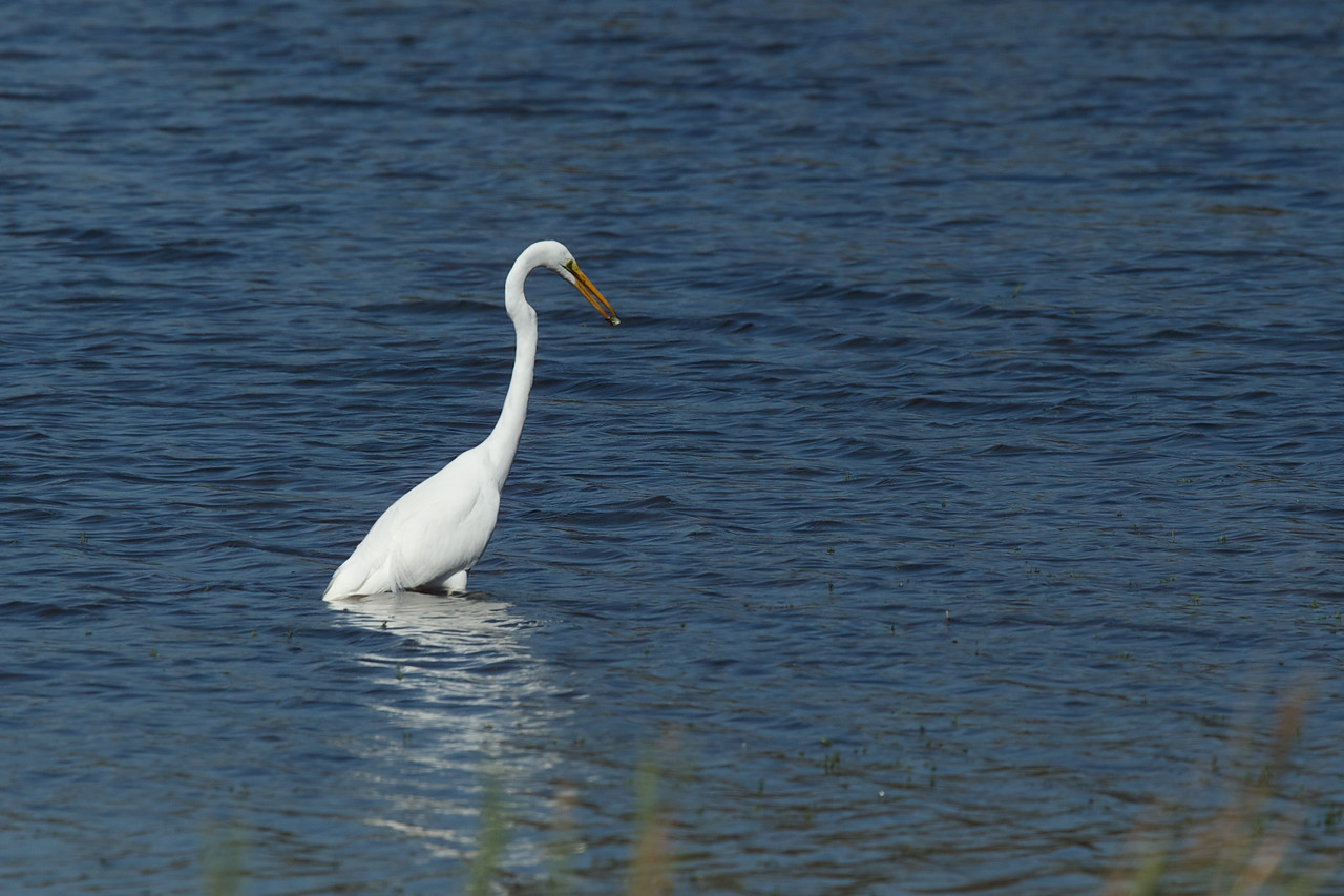 Snowy White Egret preparing to swallow a small fish - Edwin B. Forsythe Wildlife Refuge.