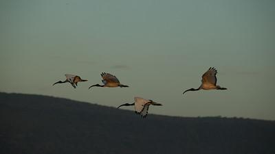 Sacred Ibis - Lake Borgoria, Kenya