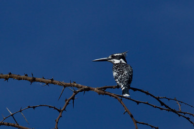 Pied Kingfisher, Kenya