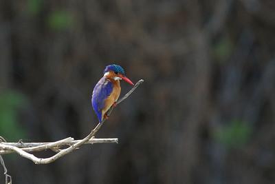 Malachite Kingfisher, Lake Nakuru, Kenya