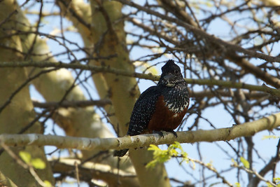Giant Kingfisher -  Lake Borgoria National Reserve, Kenya