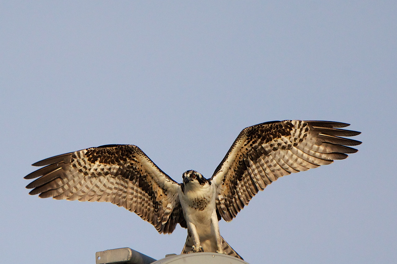 Juvenile Osprey watching his mother try and scare away a photographer (me).