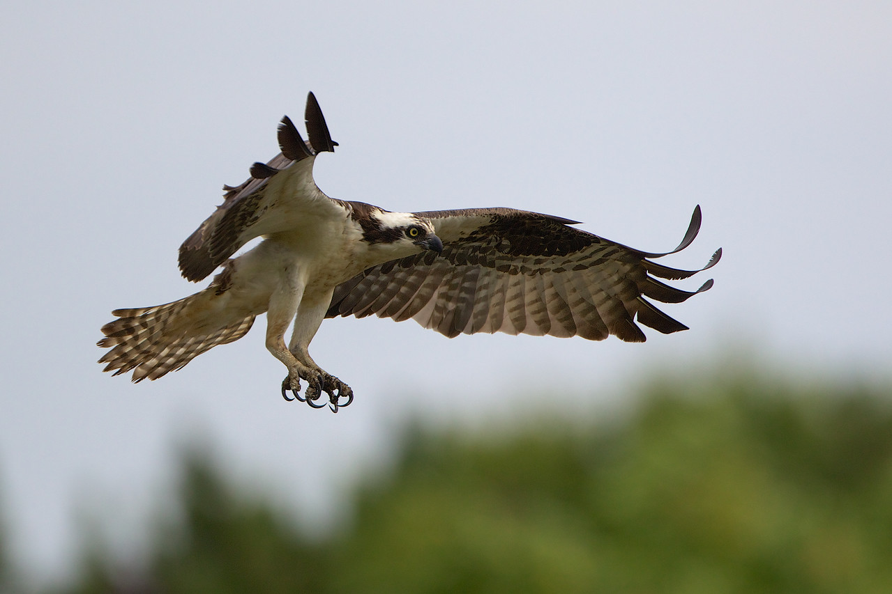 Monmouth Beach, NJ Osprey - male. Won Picture of the day July 16, 2012.
