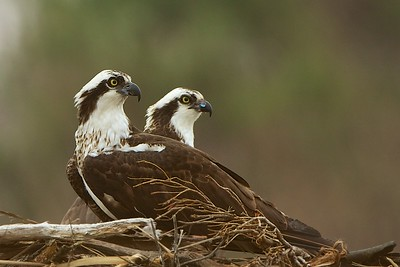 Pair of Osprey at nest in Monmouth Beach, NJ