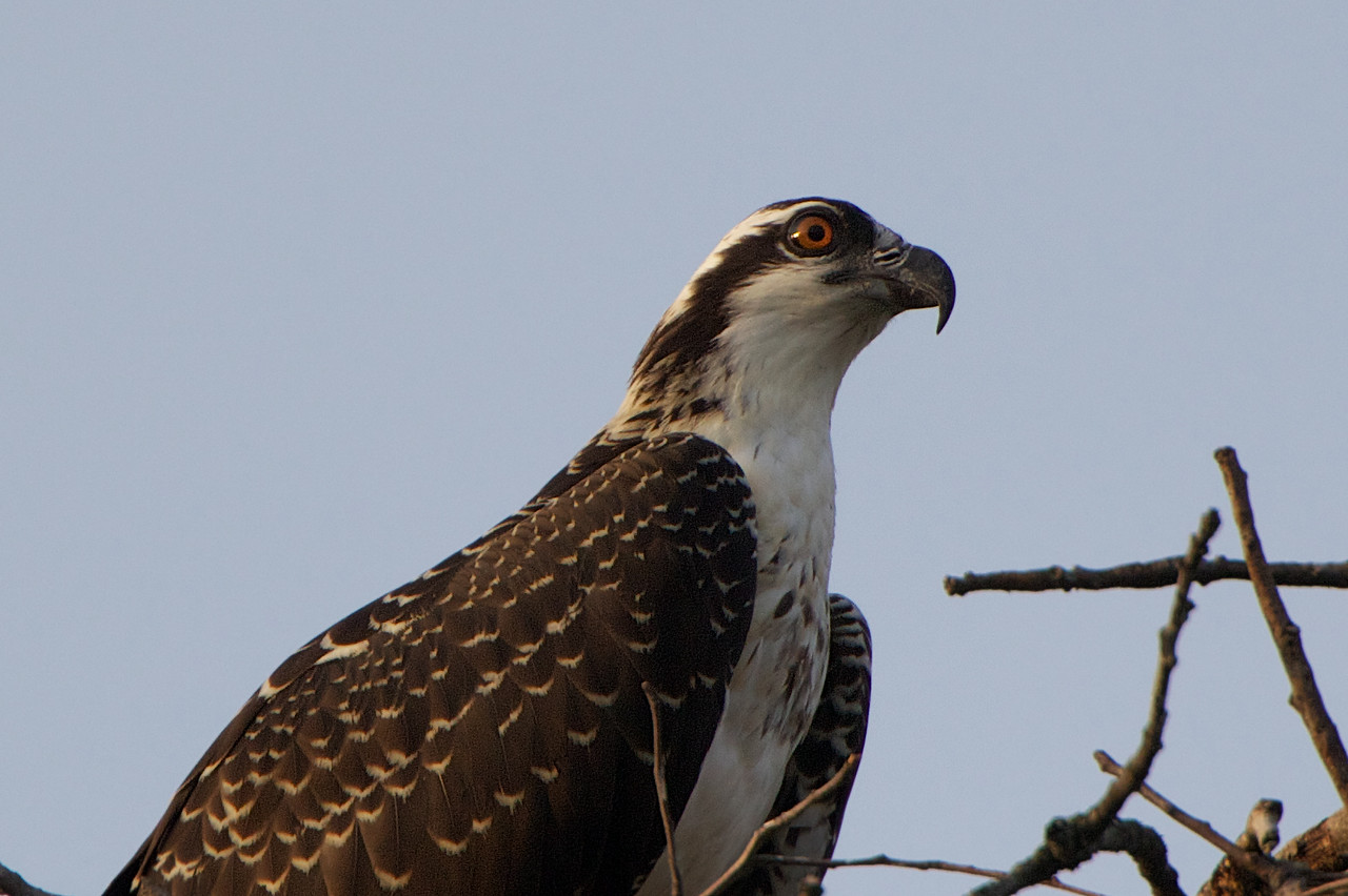 Young Osprey. Fully fledged and perfectly feathered. Notice the red eyes - only found in juvenile Ospreys.  Location: Tinton Falls, NJ.