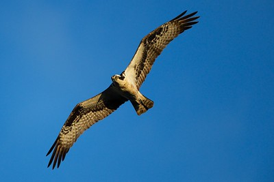 Osprey - Swimming River Reservoir,  Colts Neck, NJ
