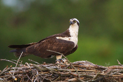 Male Osprey sitting on a nest in Monmouth Beach, NJ. Notice the chick below.