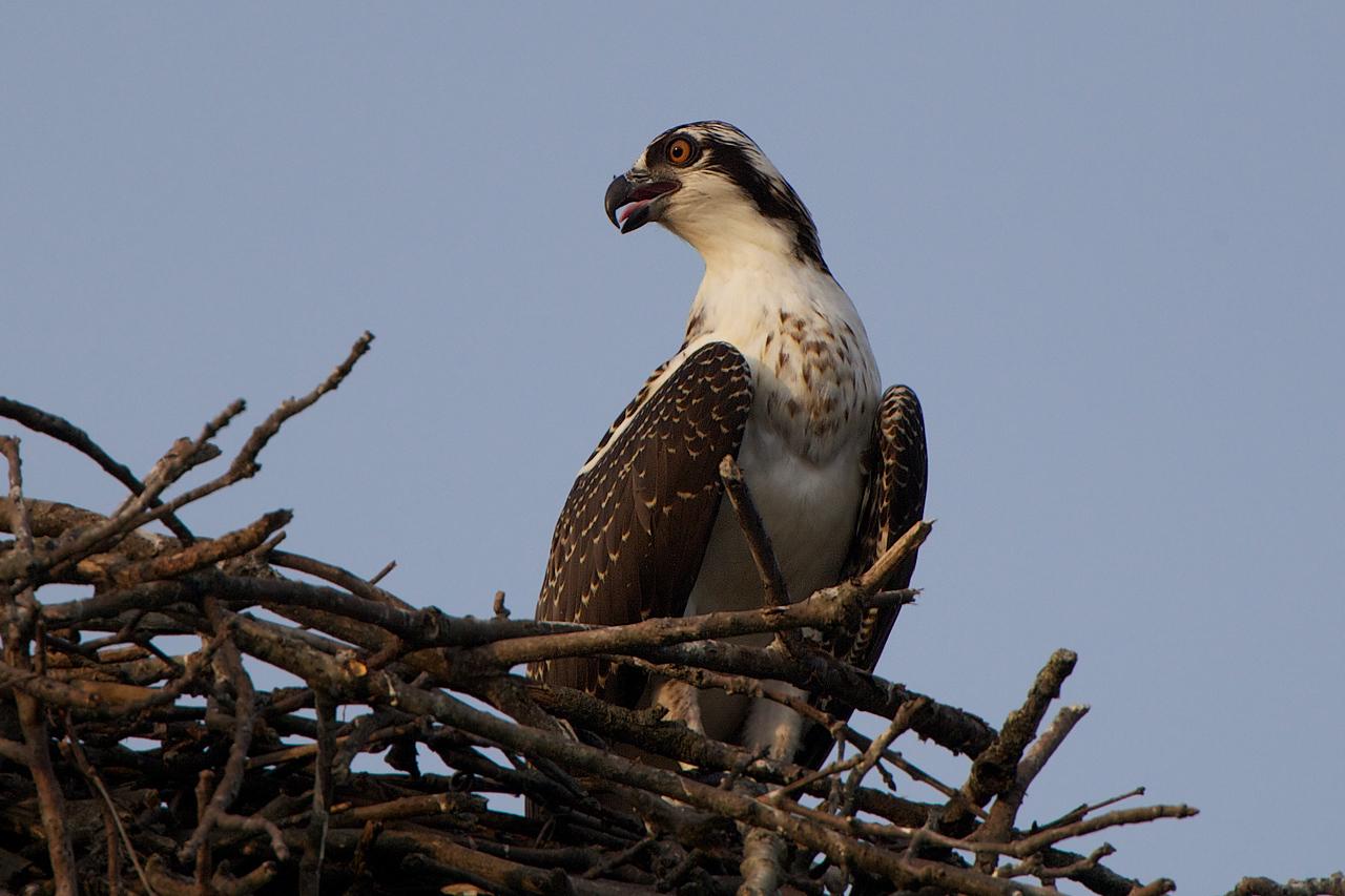 Juvenile Osprey, Tinton Falls, NJ