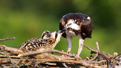 Female Osprey feeding chicks.