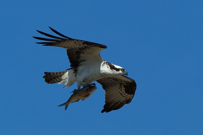 Female Osprey flies back to the nest to eat her fish.