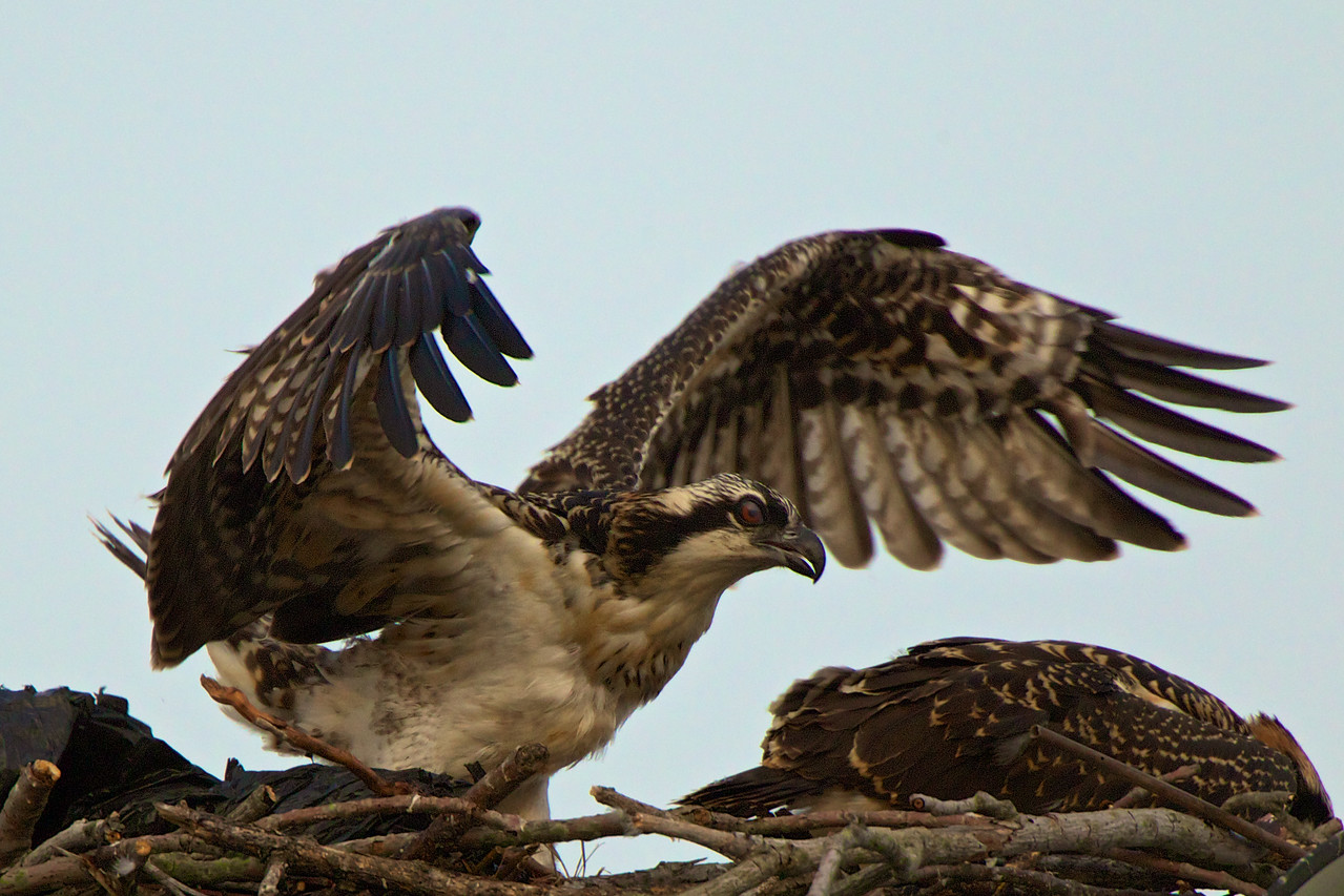 A month old Osprey stretches her wings. Notice the red eyes. This is a characteristic of a young Osprey.