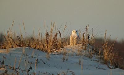 Female Snowy Owl,  Island Beach State Park, NJ
