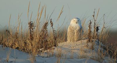 Female Snowy Owl meditating....at Island Beach State Park, NJ