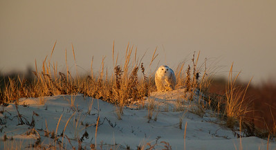 Female Snowy Owl,  Island Beach State Park, NJ