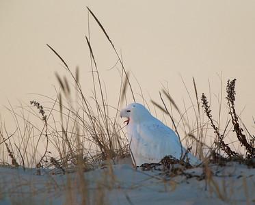 Male Snowy Owl yawns -  Island Beach State Park, NJ
