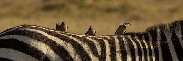 Ox Peckers - Ol Pejeta Conservancy, Kenya
