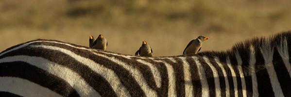 Ox Peckers - Ol Pejeta Conservancy, Kenya