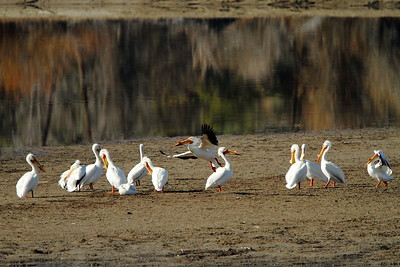 Pelicans at Oxbow Bend, Grand Teton National Park, WY