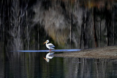 Pelican at Oxbow lake, Grand Teton National Park, WY