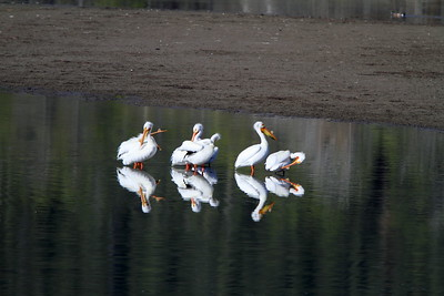 Pelicans at Oxbow Bend, Grand Teton Park, WY