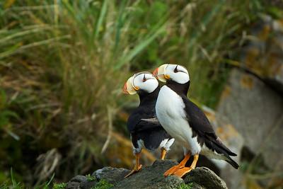 Horned Puffins - Duck Island, Alaska