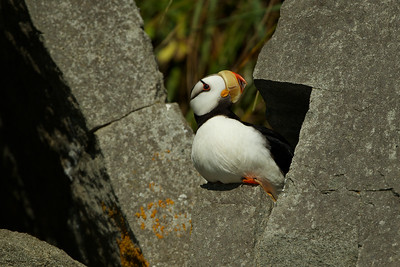 Horned Puffin, AK