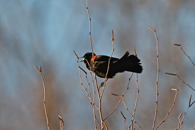 Red Winged Blackbird - Manasquan Reservoir, NJ
