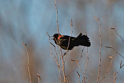 Red Winged Blackbird - Manasquan Reservoir, NJ