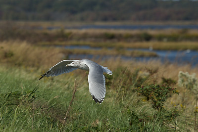 Sea Gull- Edwin B. Forsythe Wildlife Refuge.
