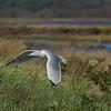 Sea Gull- Edwin B. Forsythe Wildlife Refuge.