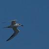 Tern - Edwin B. Forsythe Wildlife Refuge.