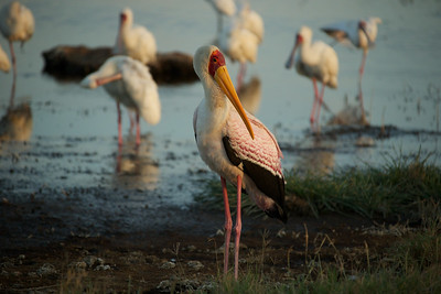 Yellow-billed Stork with African Spoonbills - Lake Borgoria, Kenya
