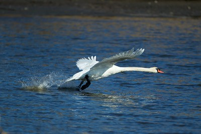 Swan giving Chase to a Canadian Goose