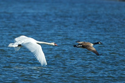 Swan Chasing Goose away from its territory