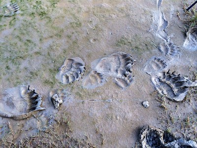 Coastal Brown Bear Prints - Lake Clark, Alaska