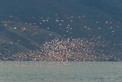 Flamingos at Lake Borogia, Kenya