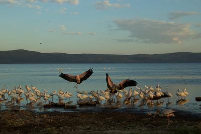 African Spoonbills and Yellow Billed Storks - Lake Borgoria National Reserve, Kenya