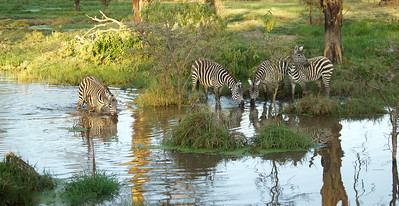 Zebras at the watering hole -Lake - Naivasha, Kenya