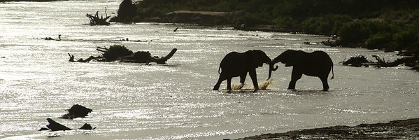 African elephants playing in the River at Sambura, Kenya
